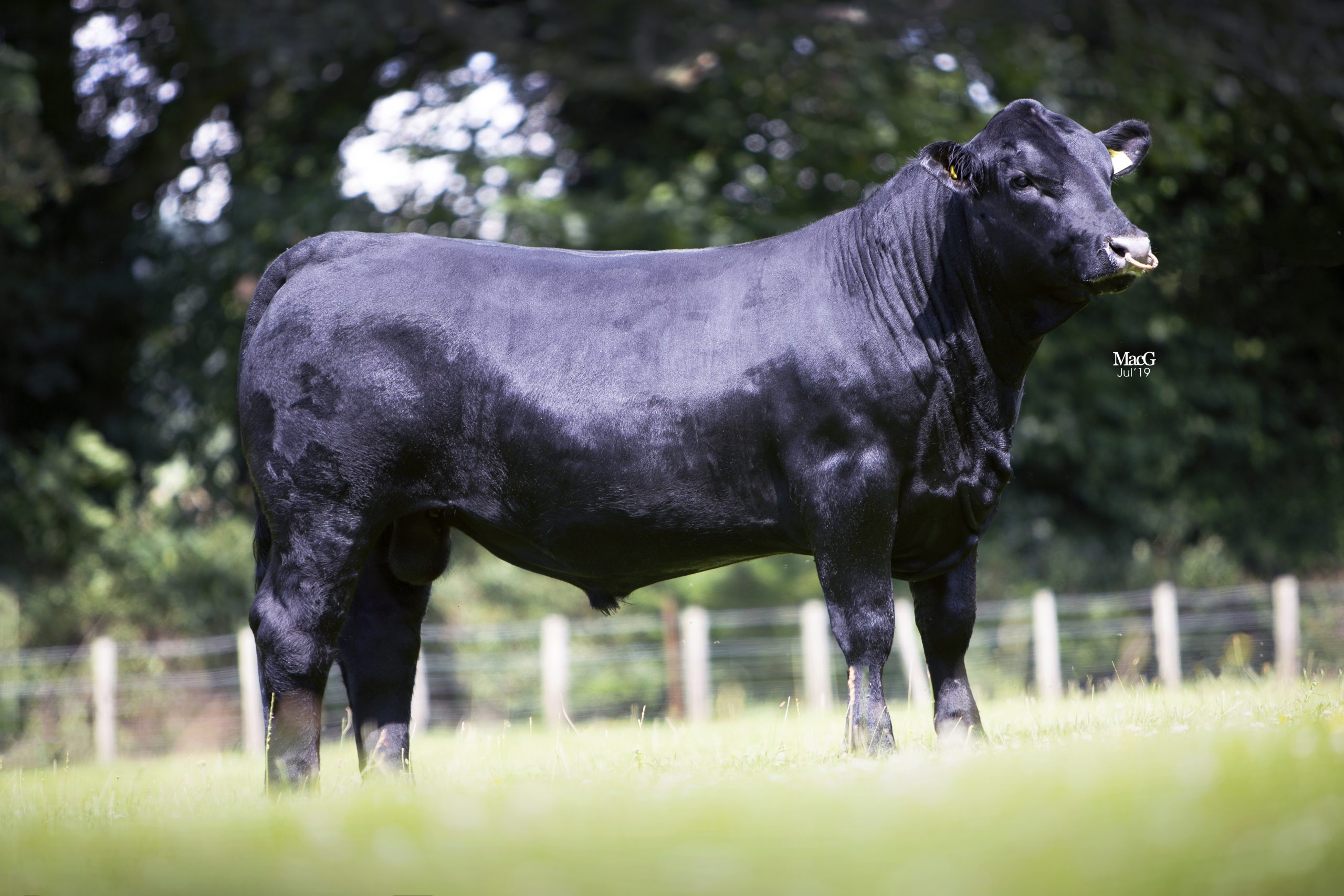 Bull Power: Easy calving Angus week