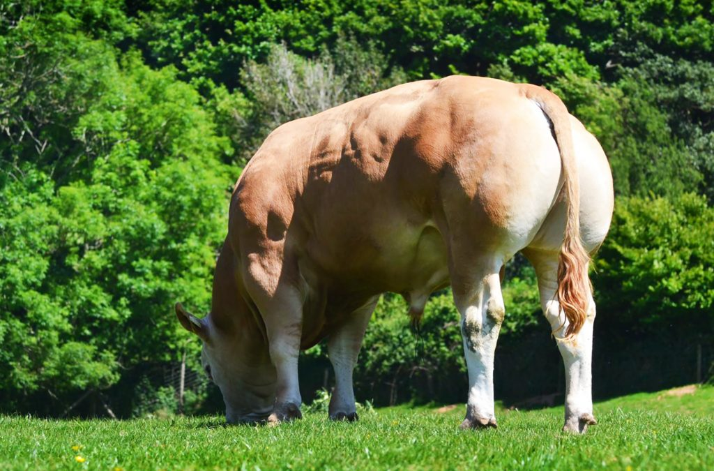 New Blonde bull for Norbreck team